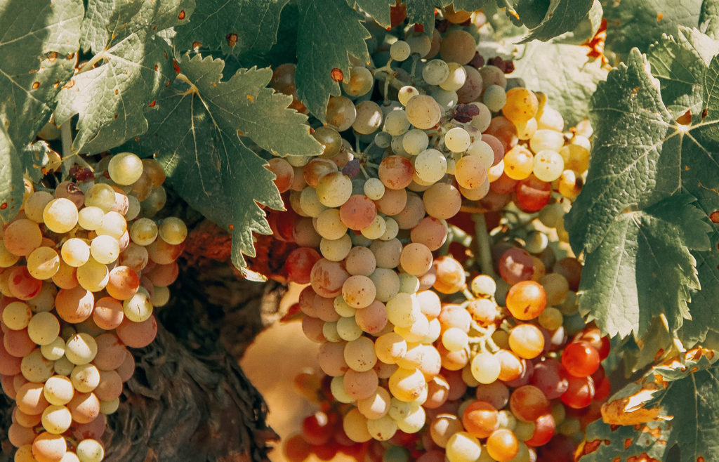 Blessed Grapes for Times of Famine